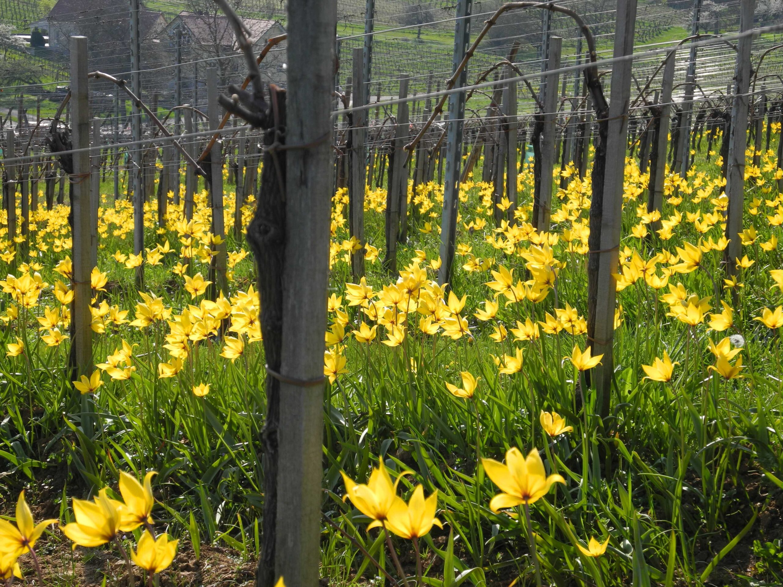 Der frühe Winzer fängt die Weinberg-Tulpe